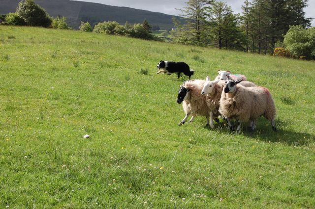 Border Collie beim Schafetreiben in Irland Tweed Tweed – eine alte Webtraditon wieder aktuell