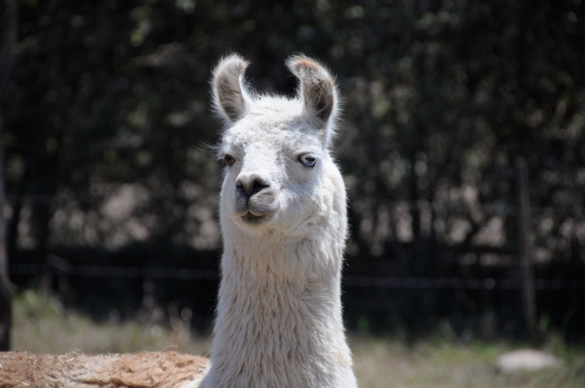 Wolle der Lamas auf sockshype Wolly-Lama Wolle der Lamas Die Wolle der Lamas