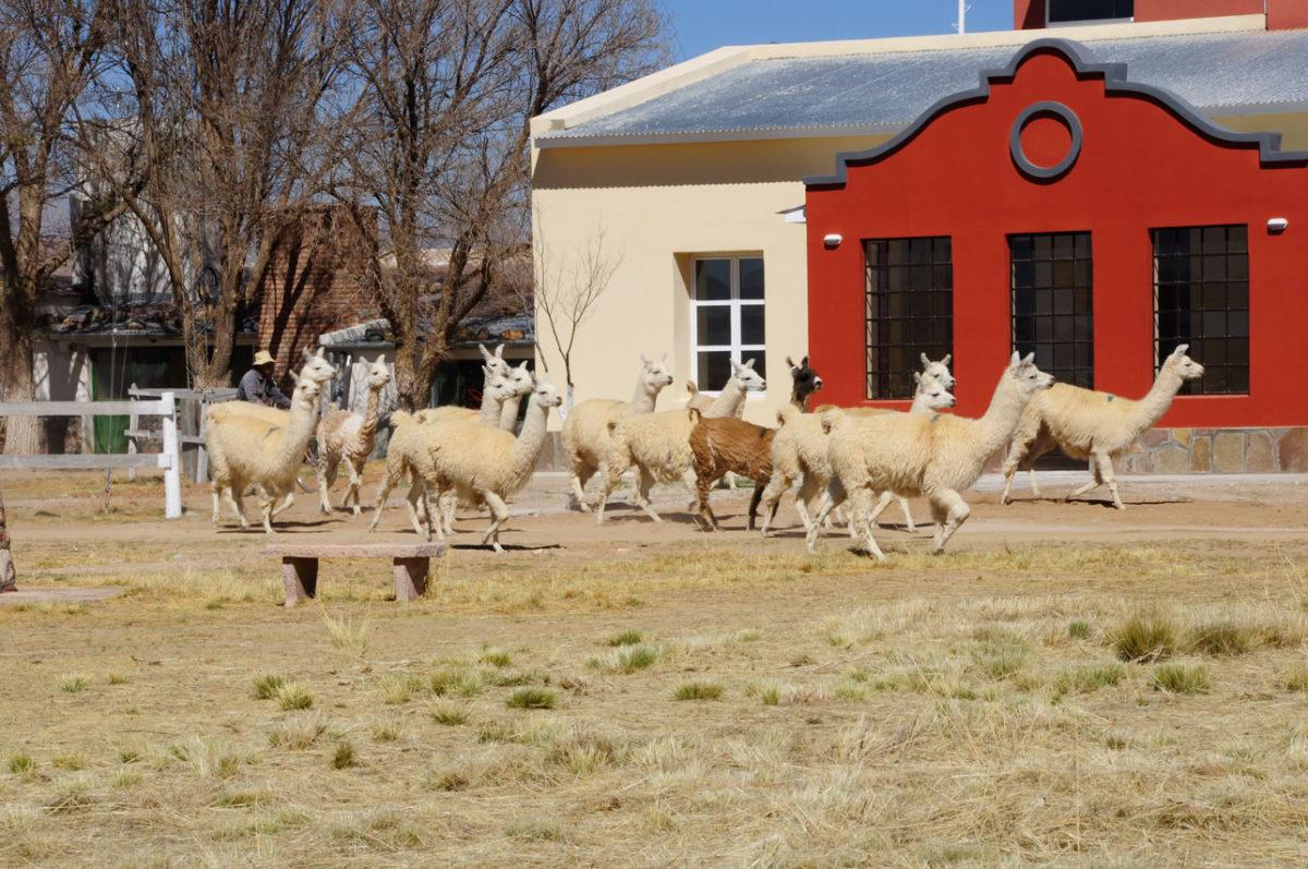 Wolle der Lamas Die Wolle der Lamas
