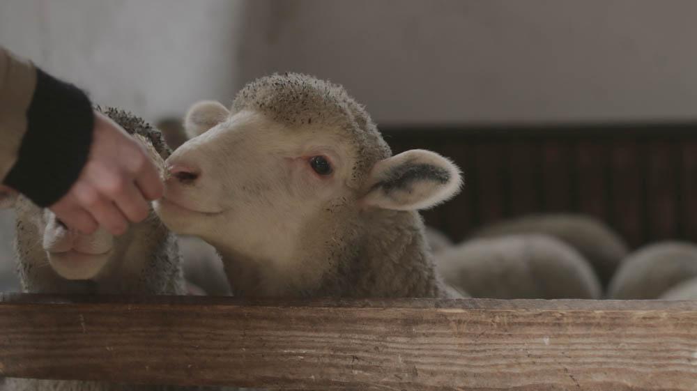 Nachhaltige Wolle Crowdfunding von Schaf & Schäfer  Nachhaltige Wolle mit Schaf & Schäfer