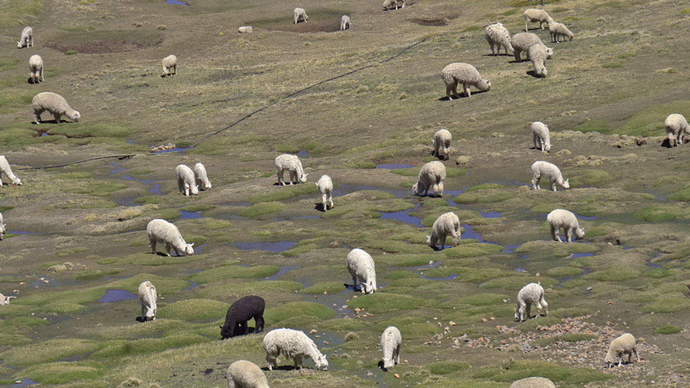 Alpakas im Hochgebirge von Peru