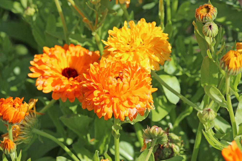 Stricken im Sommer - Ringelblumen