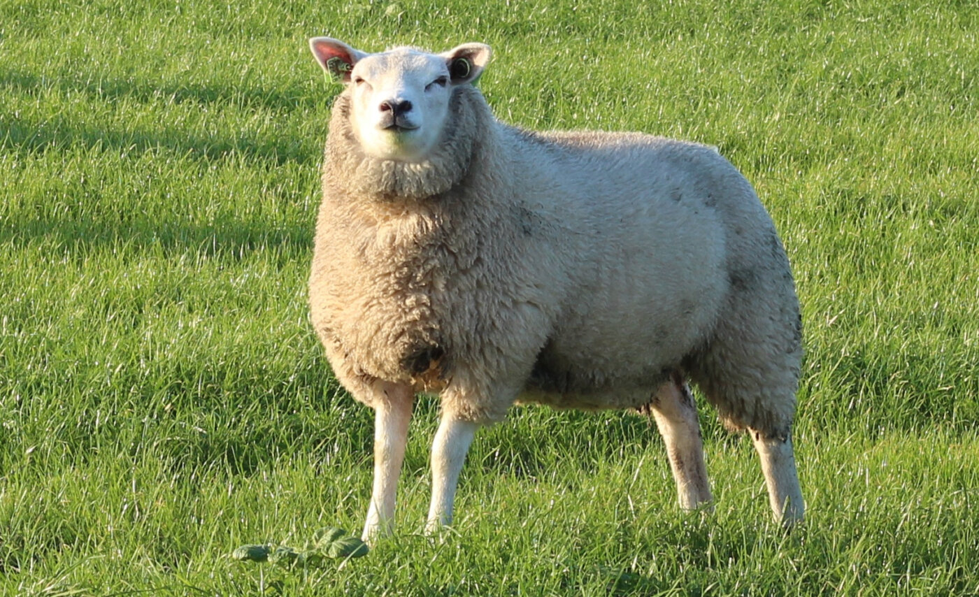 Schaf und Mensch - Texelschaf